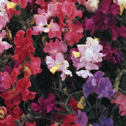 Sweet Pea - Special Mix - 100 seeds - Annuals & Biennials